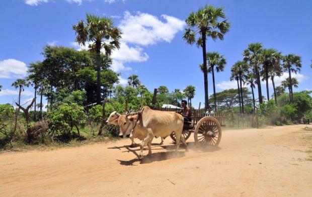 A man ride an ox cart back home