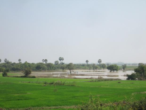 Rice Field at Kampong Chnang