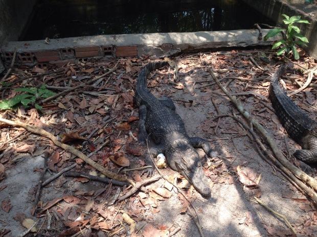 Crocodile at Tamao Zoo